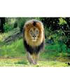 Dieren poster leeuw 84 x 59 cm
